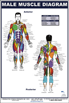 exercise books and posters - female muscle diagram poster, Muscles